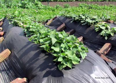 Sweet potatoes with black plastic mulch