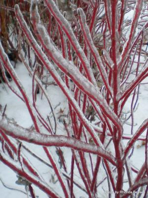redtwig dogwood in winter