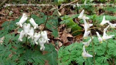 Dutchmans breeches and squirrel corn