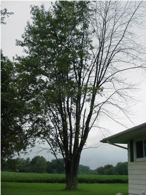 Maple in decline with possible verticillium wilt.