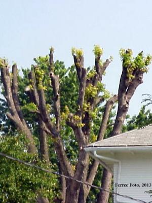 Topping trees causes weak, wind-damage prone growth.