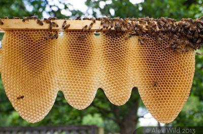 Alex wild bee