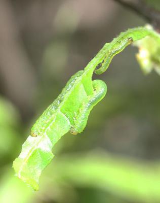 Azalea Sawfly