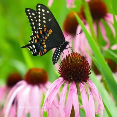 Black Swallowtail Deanna Frautschi
