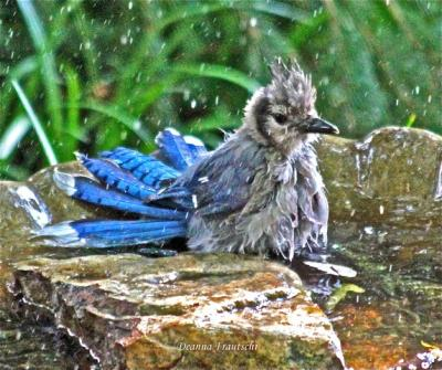 Blue Jay bathing
