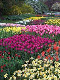 Bulbs at Longwood gardens