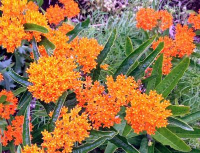 Butterfly weed ISU
