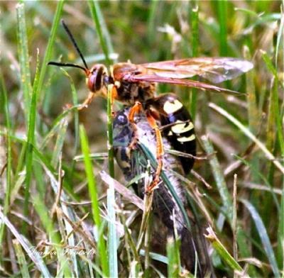 Deanna Frautschi Cicada Killer