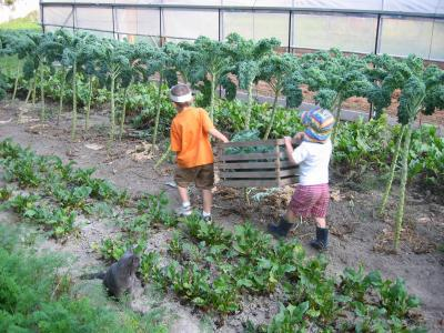 Harvesting Kale is so easy the Kids can do it