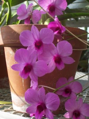 November 16 phaleonopsis pink Kelly Allsup