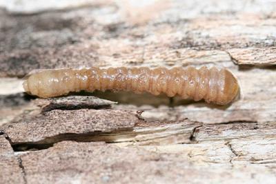 Phil Nixon redheaded ash borer larva
