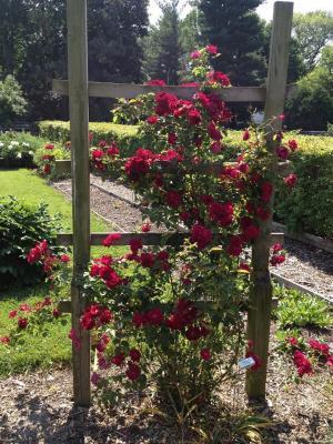 Roses from Sarah s Garden