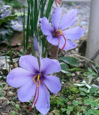 Saffron Crocus University of Florida