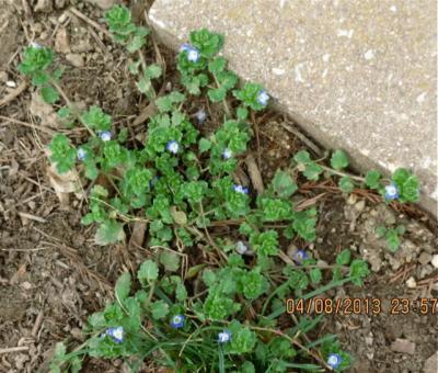 Sandra Bidner Plant Diagnoisis-Corn Speedwell