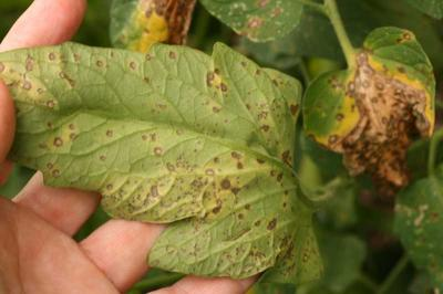 Septoria Leaf Spot of Tomato2241