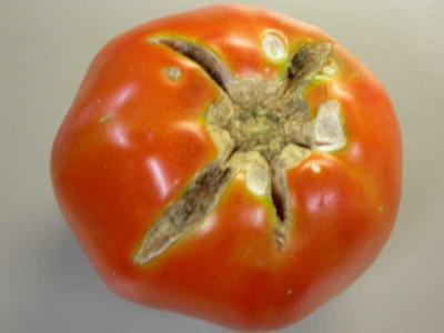 Tomato Crack Missouri Botanical Garden