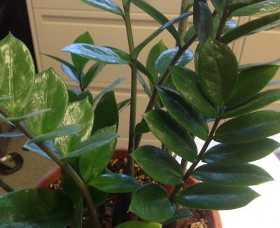 ZZ Plant  2
