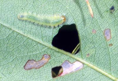 bristly rose slug larva damage Phil Nixon