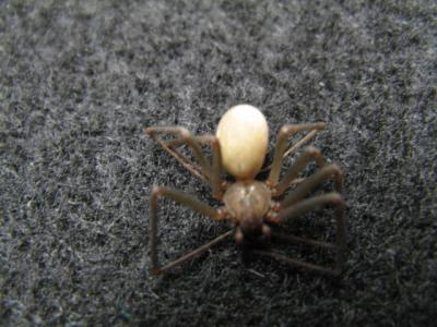 brown recluse 2