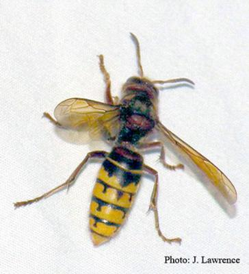 european hornet J  Lawrence