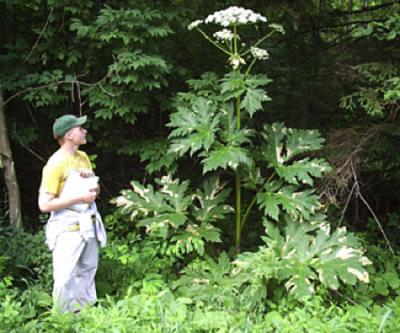 giant hogweed tall