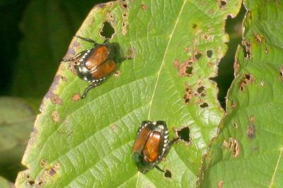japanese beetle adults on pawpaw