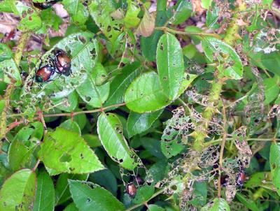 japanese beetle damage rose phil nixon