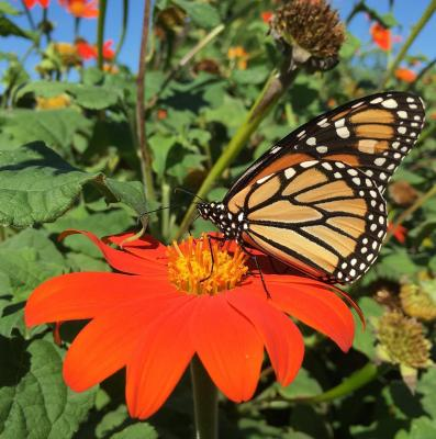 monarch on tihonia- Kelly Allsup