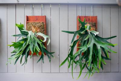 platycerium-staghorn-fern-mount-ryanbenoitphoto-thehorticult-RMB 2141 Horticult