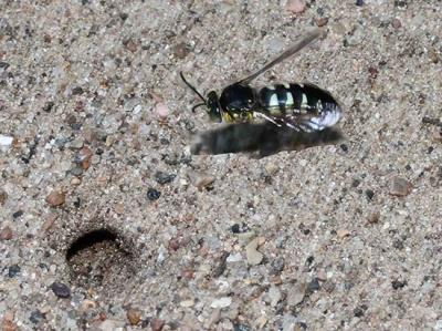 sand wasp adult flying to burrow