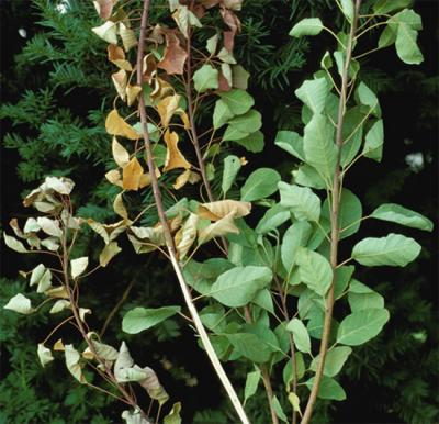 smoke tree displaying symptoms of verticillium wilt