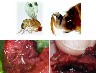 spotted wing drosophila adult male and female and larvae  1
