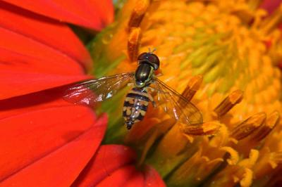 syrphid fly adult on calendula