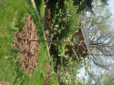 training apple tree