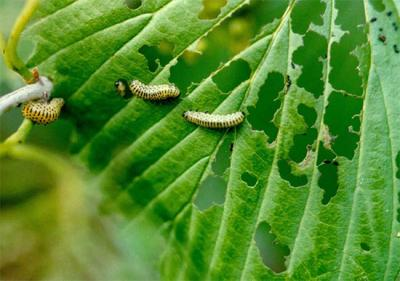 viburnum leaf beetle larvae damage