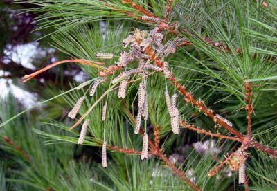 white pine sawfly larvae phil nixon