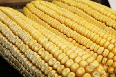 Corn 003