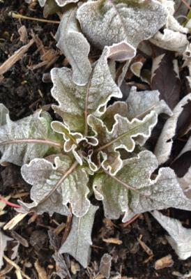frosted lettuce