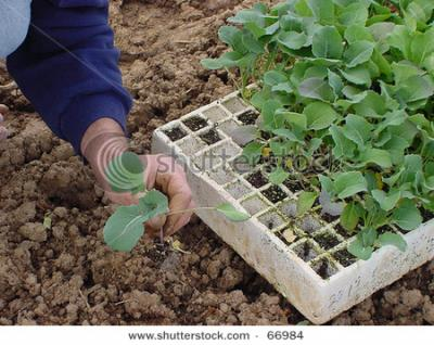 stock-photo-transplanting-seedlings-66984