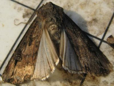 Figure. Black cutworm moth captured at the Northwestern Illinois Agricultural Research and Demonstration Center in Spring 2012. Note the characteristic black 'dagger' shaped markings located in the lower portion of the wing.