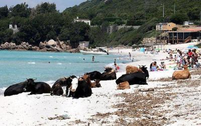 Cows on vacation
