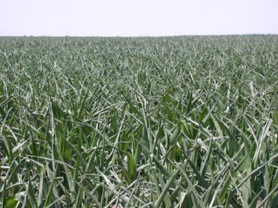 drought stressed field