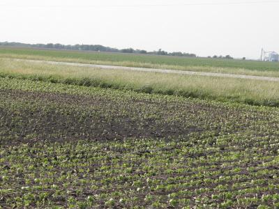 Figure. Emergence problems in soybean (May 24, 2012).