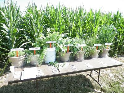 Figure. Cover crops were on display for attendees at the 32nd Annual NWIARDC Field Day.