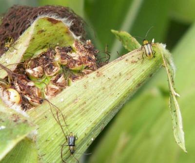 Figure. Western corn rootworm beetles feed on corn silks.