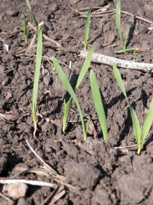 Figure. Oats 16 days after April 1 planting at the Northwestern Illinois Agricultural Research and Demonstration Center.