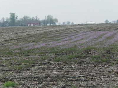 Figure. Flowering henbit in a Western IL field (photo credit: Angie Peltier, April 22, 2016)