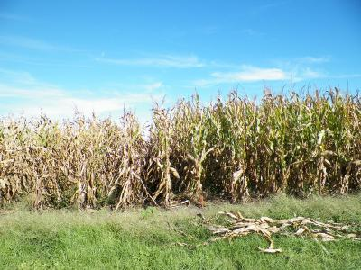Figure. Corn plants grown under different tillage systems in 2012: left = chisel plow; right = no-tillage.