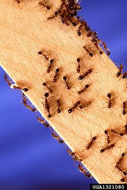 Red imported fire ants (Image: Scott Bauer, USDA Agricultural Research Service, Bugwood.org).