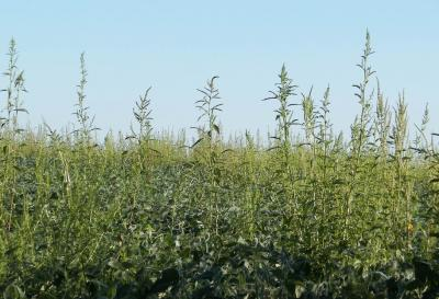 Figure. Waterhemp plants are beginning to poke their way through the canopy in many soybean fields in late July in Western Illinois.